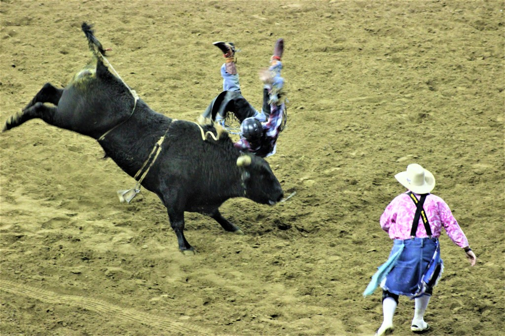 cowboy tossed off the wild steer as it bucks wildly