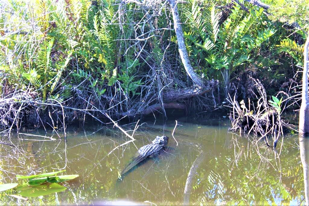 a crocodile lies quietly in the water next to the boat as we ride the airboat.