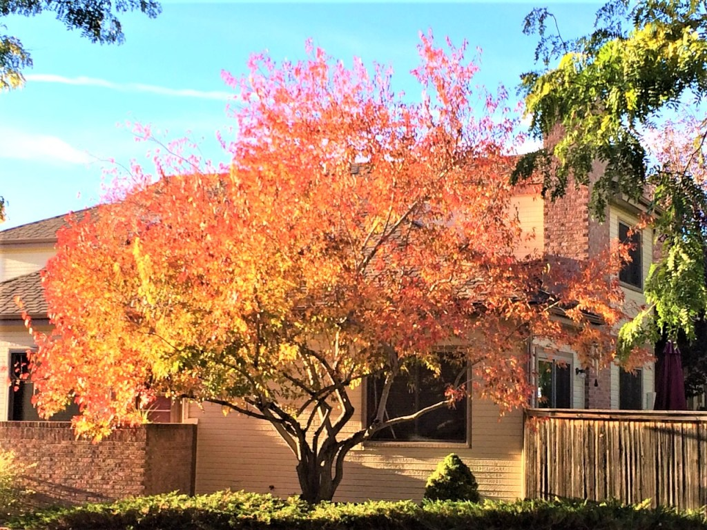 a tree with orange leaves against the background of a house.