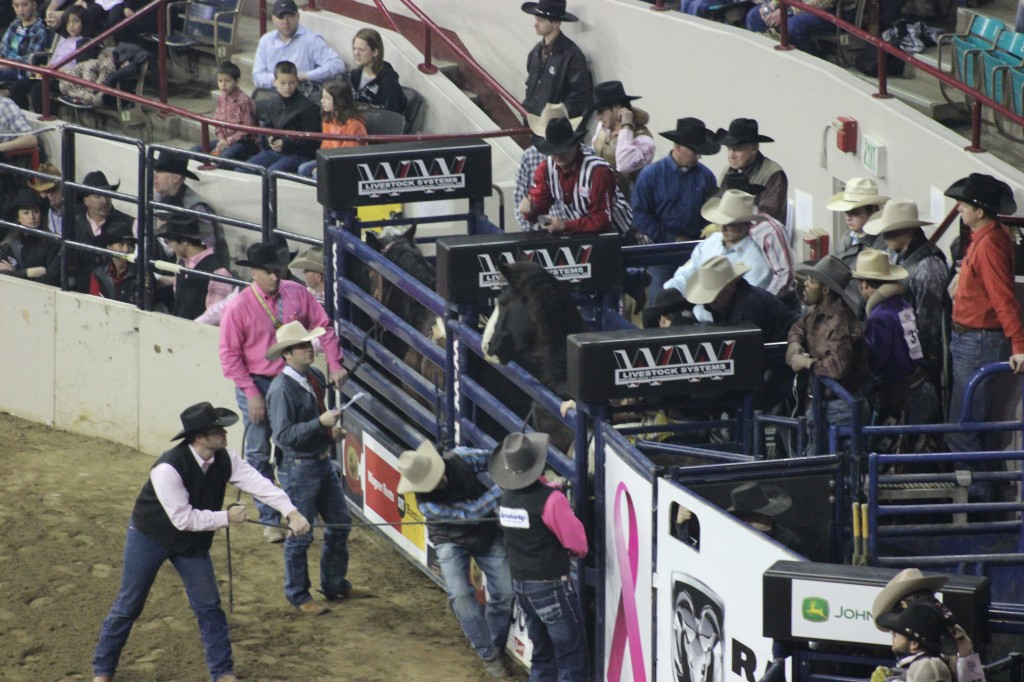3 Broncs ready to be released for the rodeo events.