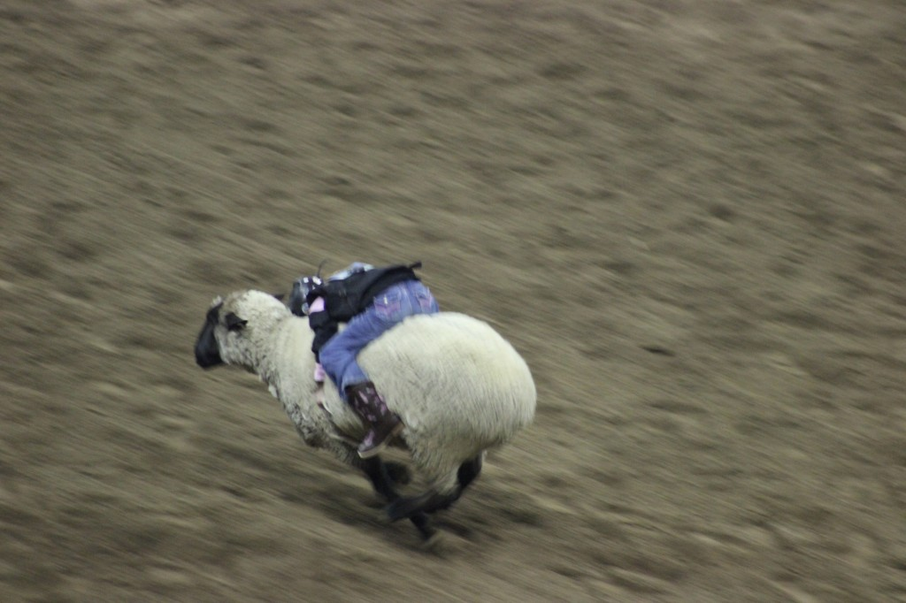a kid clings on a sheeps back as it runs wildly