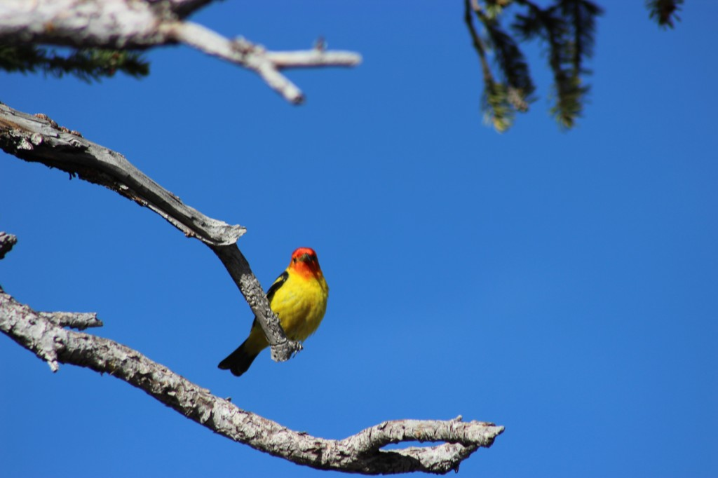 Western tanger bird in yellow sitting on a tree branch