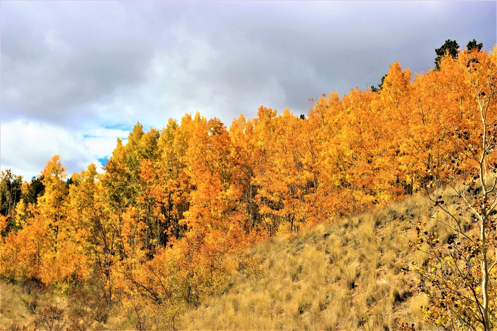 aspen tress changing color as fall gives way to winter. the fall colors in the Rockies is beautiful