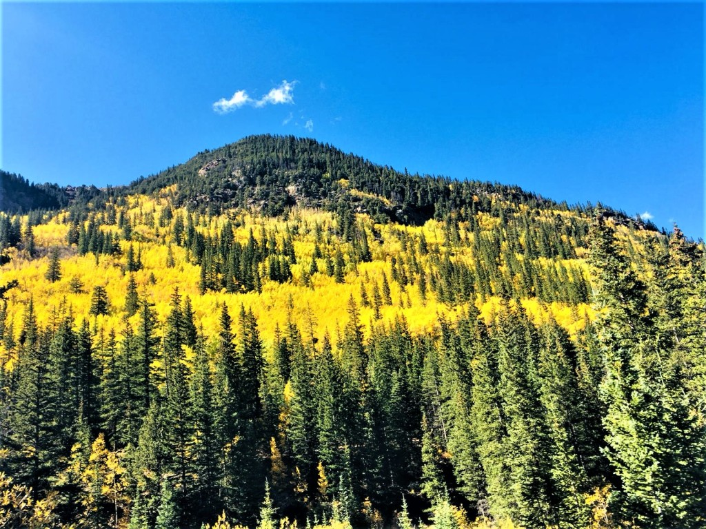 Aspen trees' leaves turn yellow on mountain side